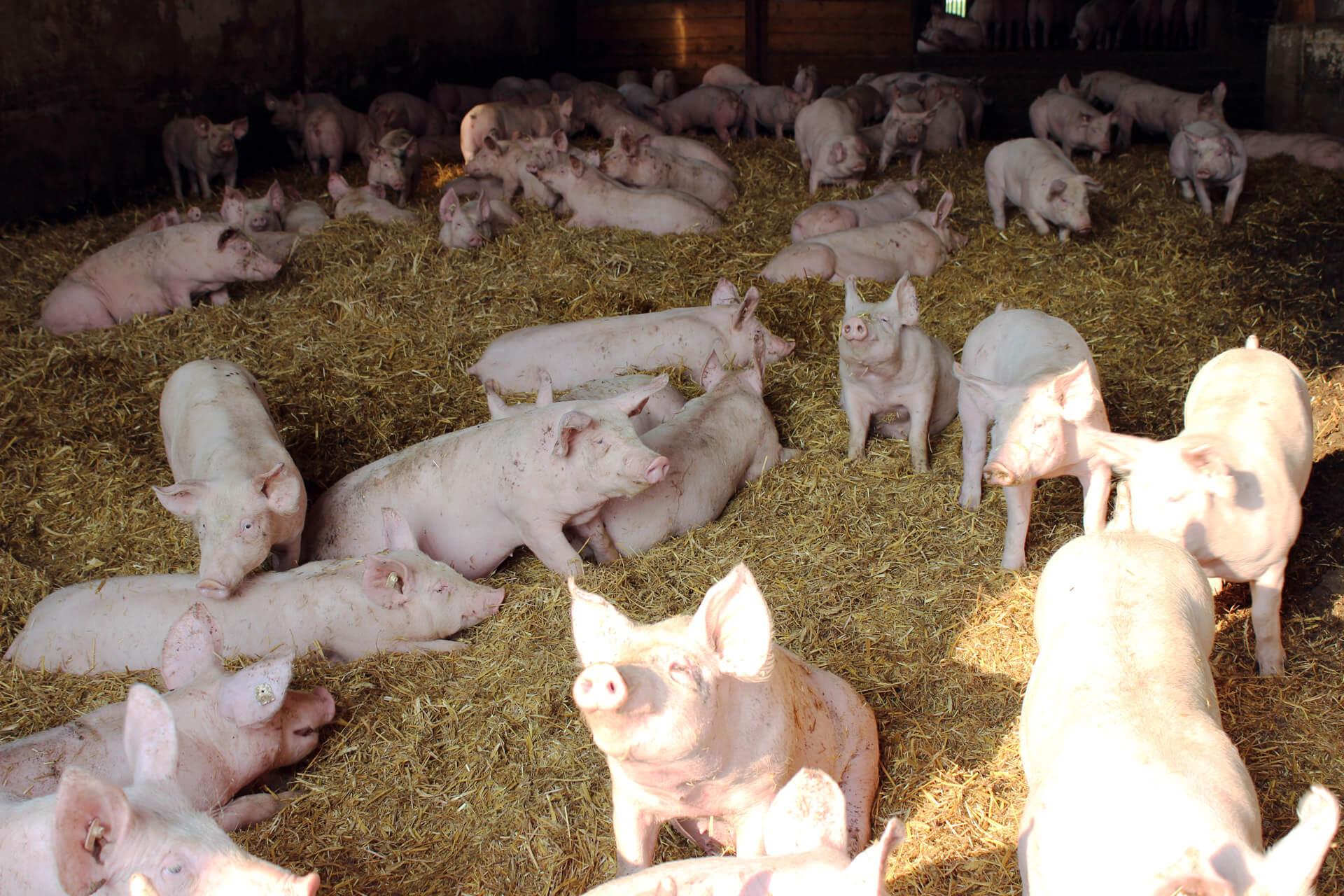 Strohschweine